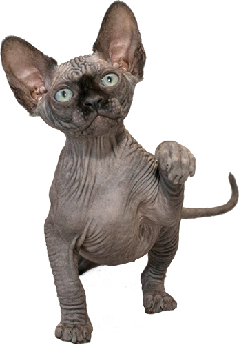 Monobreed cattery of Sphynx breed